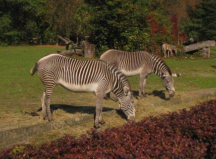 FOTKA - Tři zebry na pastvě