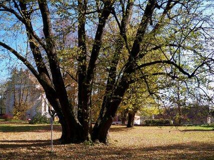 FOTKA - Šestikmenná lípa se stala vítězem celostátní ankety strom roku 2004- Zámrsk