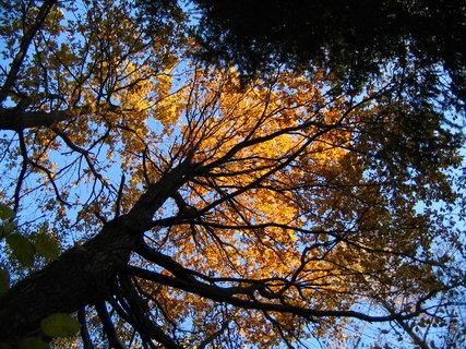 FOTKA - zlatý strom 1