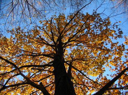FOTKA - zlatý strom 2