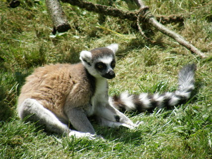 FOTKA - lemur asi že
