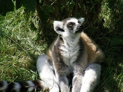 FOTKA - lemur 2