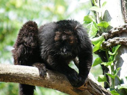 FOTKA - lemuři černí