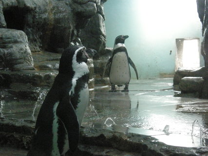 FOTKA - tučňáčci, jsem nevěděla, že jsou tak malí