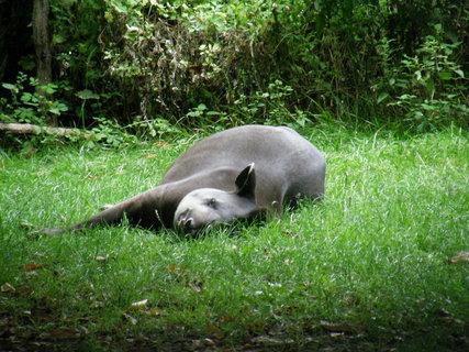 FOTKA - myslím že se jmenuje tapír, ale nevím