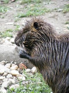 FOTKA - zubr nebo bobr nebo něco takového :)