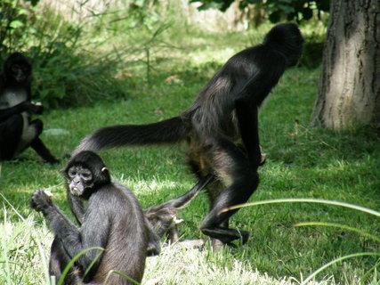 FOTKA - tyhle opice byli strašně velké, jako člověk