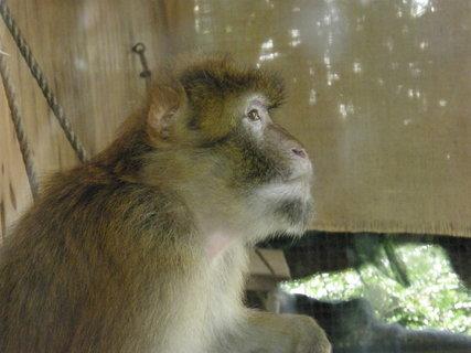 FOTKA - opice asi makak