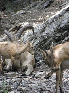 FOTKA - kozí kozý