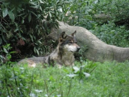 FOTKA - pravý vlk