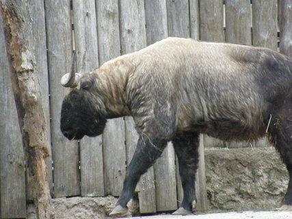 FOTKA - bizon?
