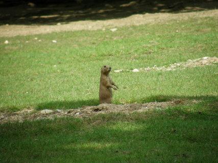 FOTKA - svišť