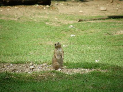 FOTKA - krásný svištík