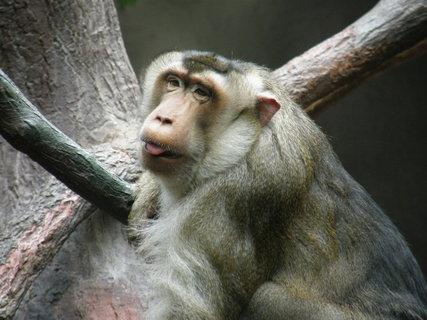 FOTKA - zasněný opičí pohled
