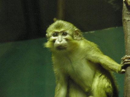 FOTKA - vykulené opičí oči