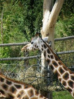 FOTKA - žirafinka