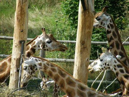 FOTKA - krmení žiraf