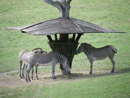 FOTKA - statné zebry