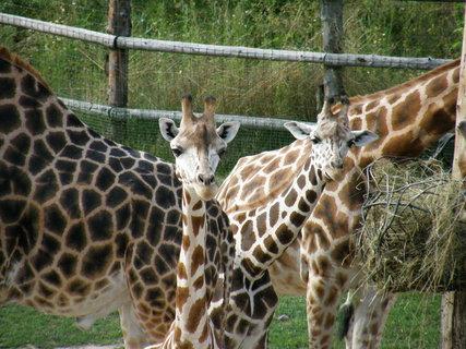 FOTKA - žirafí miminka