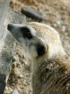 FOTKA - surikati 1