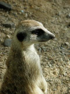 FOTKA - surikati 2