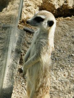 FOTKA - surikati 3