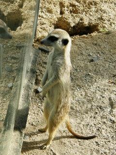 FOTKA - surikati 4