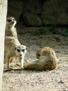 FOTKA - surikati 5