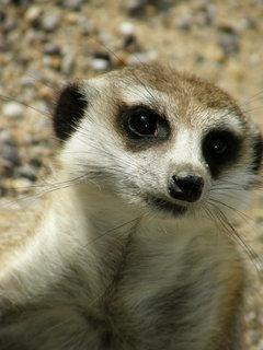 FOTKA - surikati 6