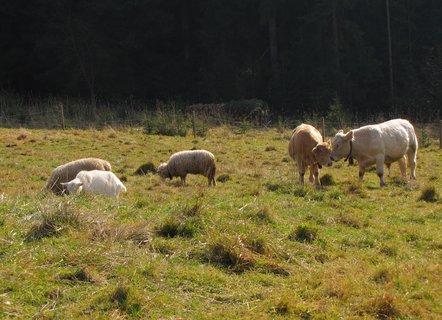 FOTKA - Krávy a ovečky na louce