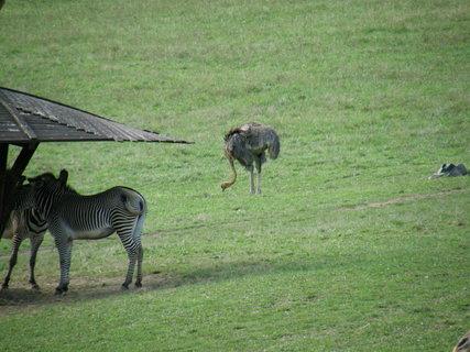 FOTKA - pštros mezi zebrami