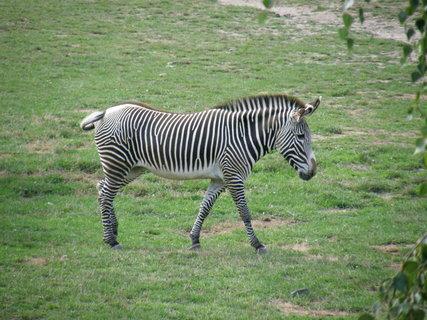 FOTKA - zebra 4