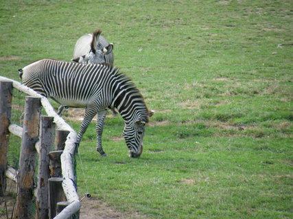 FOTKA - zebra 5