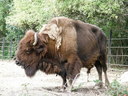FOTKA - bizon 3