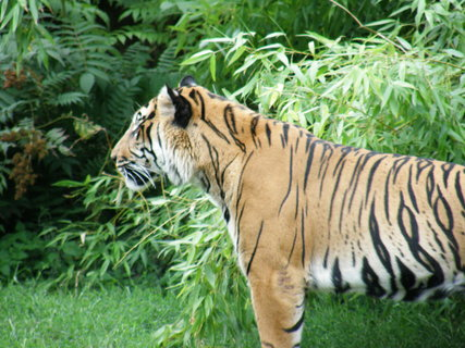 FOTKA - tygřisko