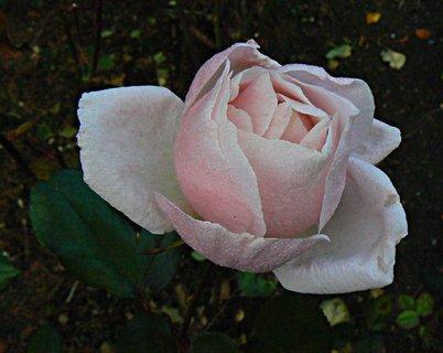 FOTKA - ještě jedna poslední růžička