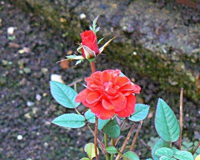 FOTKA - pokojová růžička je přes zimu ve studeném skleníku