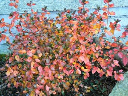 FOTKA - podzimně zbarvené listy azalky