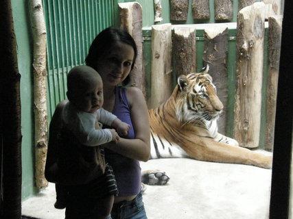 FOTKA - tygr 6