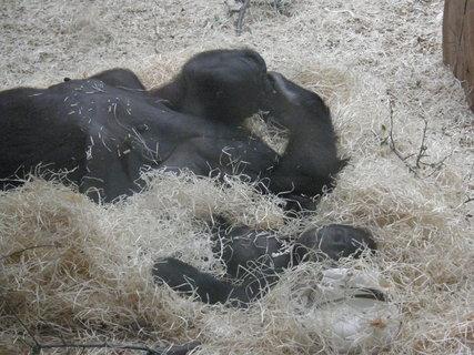 FOTKA - gorila s miminkem spinkají