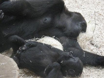 FOTKA - gorila s miminkem spinkají 2