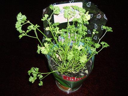FOTKA - Kudrnka - čerstvá bylinka