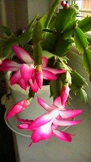 FOTKA - První květy vánočního kaktusu
