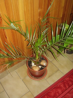 FOTKA - palmy ze semínek posbíraných v Chorvatsku