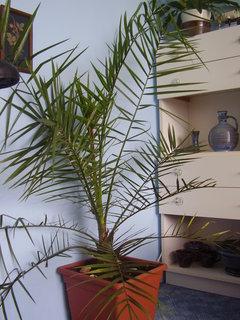 FOTKA - palmy ze semínek posbíraných v Chorvatsku....