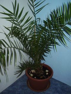 FOTKA - palmy ze semínek posbíraných v Chorvatsku......