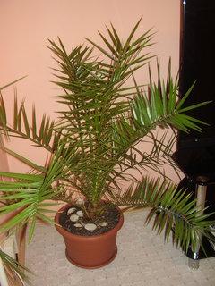 FOTKA - palmy ze semínek posbíraných v Chorvatsku.......