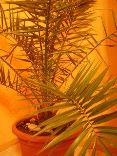 FOTKA - palmy ze semínek posbíraných v Chorvatsku.,,