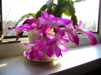 FOTKA - První květy vánočního kaktusu.