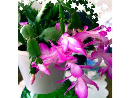FOTKA - První květy vánočního kaktusu,